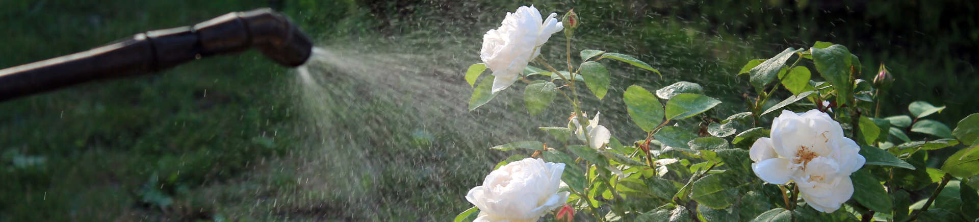 Alpharetta GA professional spraying white roses to protect them from shrub disease